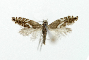 (Glyphipterix sp - NHMO-DAR-5235)  @11 [ ] Copyright (2015) Unspecified University of Oslo, Natural History Museum