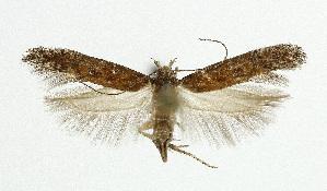 (Gnorimoschema epithymella - NHMO-DAR-5536)  @13 [ ] Copyright (2015) Unspecified University of Oslo, Natural History Museum
