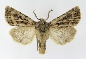 (Agrotis fatidica - NHMO-DAR-9557)  @14 [ ] CreativeCommons - Attribution Non-Commercial Share-Alike (2016) Unspecified University of Oslo, Natural History Museum