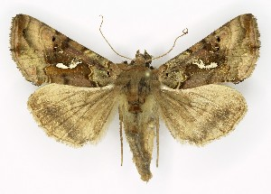 (Autographa macrogamma - NHMO-DAR-9817)  @14 [ ] CreativeCommons - Attribution Non-Commercial Share-Alike (2016) Unspecified University of Oslo, Natural History Museum