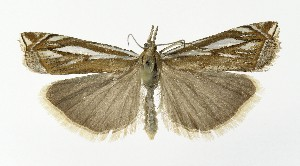 (Crambus pratella - NHMO-DAR-10017)  @14 [ ] CreativeCommons - Attribution Non-Commercial Share-Alike (2016) Unspecified University of Oslo, Natural History Museum