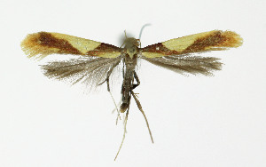 (Caloptilia alchimiella - NHMO-DAR-10405)  @14 [ ] CreativeCommons - Attribution Non-Commercial Share-Alike (2016) Unspecified University of Oslo, Natural History Museum