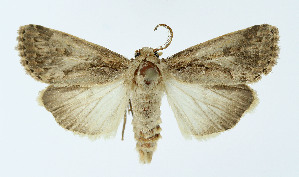 (Spodoptera depravata - NHMO-DAR-10545)  @13 [ ] by-nc-sa (2016) Unspecified University of Oslo, Natural History Museum