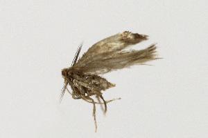 (Stigmella sorbi - NHMO-DAR-12062)  @13 [ ] by-nc-sa (2017) Unspecified University of Oslo, Natural History Museum