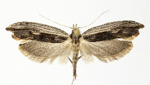 (Ypsolopha scabrella - NHMO-DAR-12616)  @14 [ ] by-nc-sa (2017) Unspecified University of Oslo, Natural History Museum