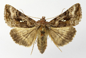 (Autographa buraetica - NHMO-DAR-12667)  @14 [ ] by-nc-sa (2017) Unspecified University of Oslo, Natural History Museum