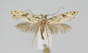 (Nemapogon hungaricus - KBE 2018138)  @11 [ ] Creative Commons – Attribution Non-Commercial Share-Alike (2018) Kai Berggren NTNU University Museum, Department of Natural History