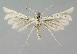 (Wheeleria obsoletus - KBE 2018207)  @11 [ ] Creative Commons – Attribution Non-Commercial Share-Alike (2018) Kai Berggren NTNU University Museum, Department of Natural History