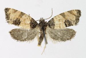 (Propiromorpha - KBE 2018374)  @11 [ ] Creative Commons – Attribution Non-Commercial Share-Alike (2018) Kai Berggren NTNU University Museum, Department of Natural History