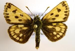 (Carterocephalus silvicola - NHMO-DAR-1478)  @14 [ ] No Rights Reserved (2014) Arild Johnsen University of Oslo, Natural History Museum