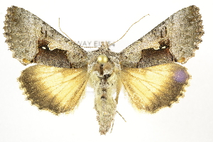 (Syngrapha diasema - NHMO-DAR-1486)  @15 [ ] No Rights Reserved (2014) Arild Johnsen University of Oslo, Natural History Museum