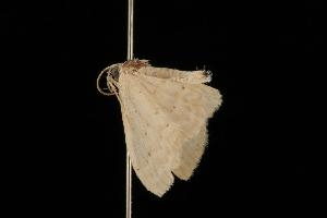 (Idaea sp. 10 - Moth 001.03CL)  @13 [ ] CreativeCommons - Attribution Non-Commercial Share-Alike (2010) CBG Photography Group Centre for Biodiversity Genomics