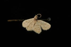 (Idaea sp. 13 - Moth 242.01LZ)  @13 [ ] CreativeCommons - Attribution Non-Commercial Share-Alike (2010) CBG Photography Group Centre for Biodiversity Genomics