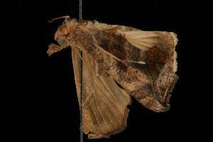(Oraesia argyrosigna PS1 - Moth 265.01LZ)  @14 [ ] CreativeCommons - Attribution Non-Commercial Share-Alike (2010) CBG Photography Group Centre for Biodiversity Genomics