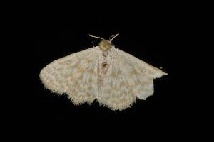 ( - Moth 043.03LZ)  @13 [ ] CreativeCommons - Attribution Non-Commercial Share-Alike (2010) CBG Photography Group Centre for Biodiversity Genomics