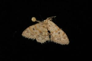 (Idaea sp. 14 - Moth 045.03LZ)  @13 [ ] CreativeCommons - Attribution Non-Commercial Share-Alike (2010) CBG Photography Group Centre for Biodiversity Genomics