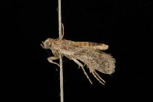 (Homoeosoma lechriosema - Moth 049.03LZ)  @14 [ ] CreativeCommons - Attribution Non-Commercial Share-Alike (2010) CBG Photography Group Centre for Biodiversity Genomics