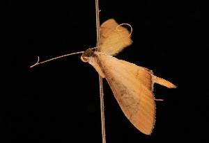 (Dracaenura horochroa - 05-QLD-00553)  @13 [ ] CreativeCommons - Attribution Non-Commercial Share-Alike (2010) CBG Photography Group Centre for Biodiversity Genomics