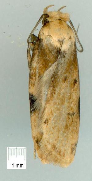 (Elaeonoma deltacostamela - gvc7424-1L)  @13 [ ] Copyright (2004) Graeme V. Cocks Unspecified