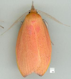 (Wingia rectiorella - gvc7530-1L)  @14 [ ] Copyright (2004) Graeme V. Cocks Unspecified
