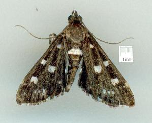 (Metasia zinckenialis - gvc8675-1L)  @13 [ ] Copyright (2004) Graeme V. Cocks Unspecified