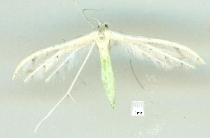 (Pterophorus albidus - gvc16608-1L)  @13 [ ] CreativeCommons - Attribution Non-Commercial (2010) Graeme V. Cocks Unspecified