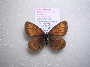 (Erebia kindermanni sarytavica - 2005-LOWA-206)  @14 [ ] CreativeCommons - Attribution Non-Commercial Share-Alike (2010) CBG Photography Group Centre for Biodiversity Genomics
