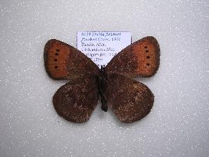(Erebia fletcheri fletcheri - 2005-LOWA-119)  @13 [ ] CreativeCommons - Attribution Non-Commercial Share-Alike (2010) CBG Photography Group Centre for Biodiversity Genomics