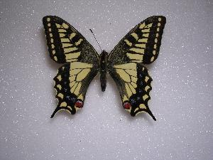 (Papilio machaon rinpoche - LOWA-NL-6)  @13 [ ] Unspecified (default): All Rights Reserved  Unspecified Unspecified
