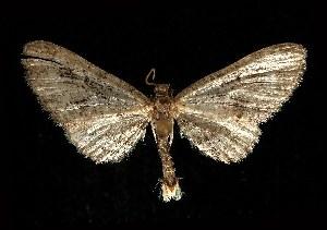 (Eupithecia interruptofasciata - CGWC-1179)  @14 [ ] CreativeCommons - Attribution Non-Commercial Share-Alike (2010) CBG Photography Group Centre for Biodiversity Genomics