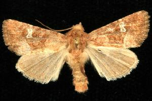 ( - CGWC-1952)  @13 [ ] CC-0 (2010) CBG Photography Group Centre for Biodiversity Genomics