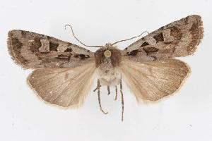 (Euxoa auripennis - CGWC-3265)  @14 [ ] CC-0 (2010) CBG Photography Group Centre for Biodiversity Genomics