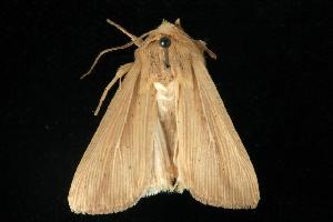(Leucania anteroclara - CGWC-3593)  @14 [ ] CC-0 (2010) CBG Photography Group Centre for Biodiversity Genomics