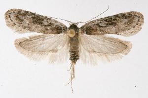 (Exaeretia ciniflonella - CGWC-3807)  @15 [ ] CC-0 (2010) CBG Photography Group Centre for Biodiversity Genomics