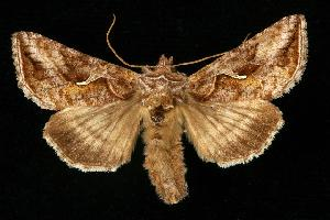 (Autographa rubidus - CGWC-3881)  @14 [ ] CC-0 (2010) CBG Photography Group Centre for Biodiversity Genomics