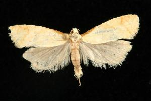 (Phtheochroa aegrana - CGWC-3927)  @16 [ ] CC-0 (2010) CBG Photography Group Centre for Biodiversity Genomics