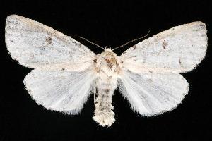 (Acronicta innotata - CGWC-3956)  @15 [ ] CC-0 (2010) CBG Photography Group Centre for Biodiversity Genomics