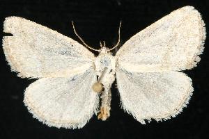 (Protodeltote albidula - CGWC-4098)  @14 [ ] CC-0 (2010) CBG Photography Group Centre for Biodiversity Genomics