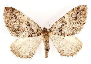 (Anticlea vasiliata - CGWC-4136)  @15 [ ] CC-0 (2010) CBG Photography Group Centre for Biodiversity Genomics