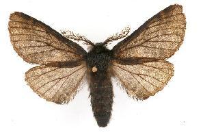 (Hypena californica - CGWC-4279)  @15 [ ] CC-0 (2010) CBG Photography Group Centre for Biodiversity Genomics