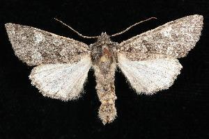 (Platypolia loda - CGWC-4342)  @13 [ ] CC-0 (2010) CBG Photography Group Centre for Biodiversity Genomics
