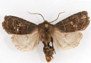 (Homoglaea hircina - CGWC-4348)  @14 [ ] CC-0 (2010) CBG Photography Group Centre for Biodiversity Genomics