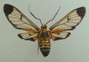 (Leucotmemis guyanensis - KLM Lep 03850)  @14 [ ] CreativeCommons – Attribution Non-Commercial Share-Alike (2015) Christian Wieser Landesmuseum Kärnten