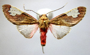 (Bertholdia flavodorsata - BEVI2090)  @11 [ ] CreativeCommons - Attribution Non-Commercial Share-Alike (2007) B. Vincent Unspecified