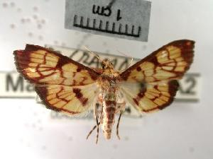 (Chalcidoptera emissalis - USNM ENT 00498993)  @13 [ ] Unspecified (default): All Rights Reserved  Unspecified Unspecified