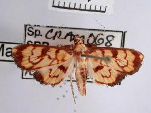 (Chalcidoptera emissalis - USNM ENT 00503999)  @13 [ ] Unspecified (default): All Rights Reserved  Unspecified Unspecified
