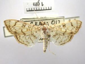 (Haritalodes sp. AAB8316 - USNM ENT 00645284)  @14 [ ] Unspecified (default): All Rights Reserved  Unspecified Unspecified