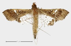 (Maruca prob. fuscalis - USNM ENT 00733437.1)  @13 [ ] Unspecified (default): All Rights Reserved  Unspecified Unspecified