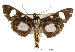 (Glyphodes doleschalii - USNM ENT 00733551)  @15 [ ] Unspecified (default): All Rights Reserved  Unspecified Unspecified