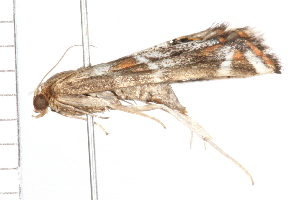 (Petrophila santafealis PS1 - MDOK-0476)  @13 [ ] CreativeCommons - Attribution Non-Commercial Share-Alike (2009) CBG Photography Group Centre for Biodiversity Genomics